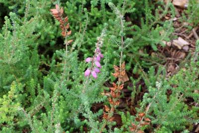 Wimper-Heide - Erica ciliaris
