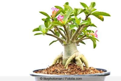 Wüstenrose - Adenium obesum