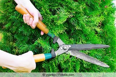 Schneiden einer Zypresse mit großer Gartenschere