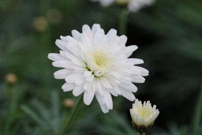 Weiße Blüte der Strauchmargerite