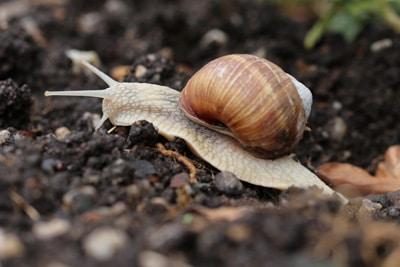 Schnecken - Gastropoda