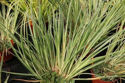 Gras-Kalmus als winterharte Kübelpflanze