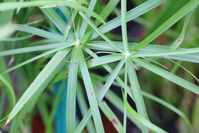 Zyperngras - Zypergras - Cyperus alternifolius
