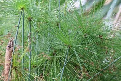 Zwerg-Zyperngras - Cyperus haspan