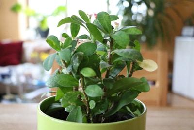 Christusdorn - Euphorbia milii