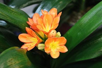 Kleine Blüte der Clivie