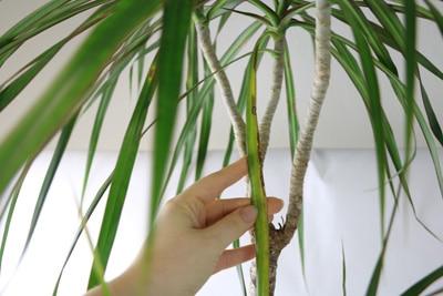 Dracaena marginata - Braune Blätter