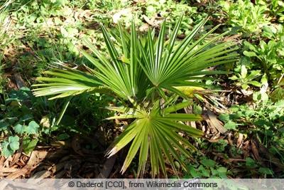 Hanfpalme - Trachycarpus martianus