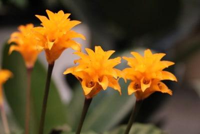 Blüten der Calathea Crocata