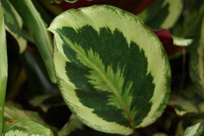 Blatt der Calathea Roseopicta