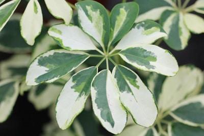 Schefflera - Strahlenaralie