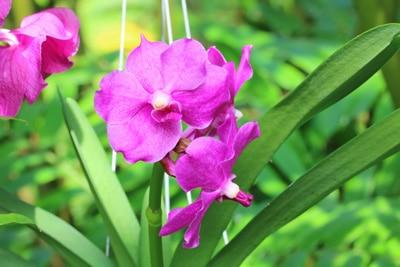 Blüte einer Vanda-Orchidee