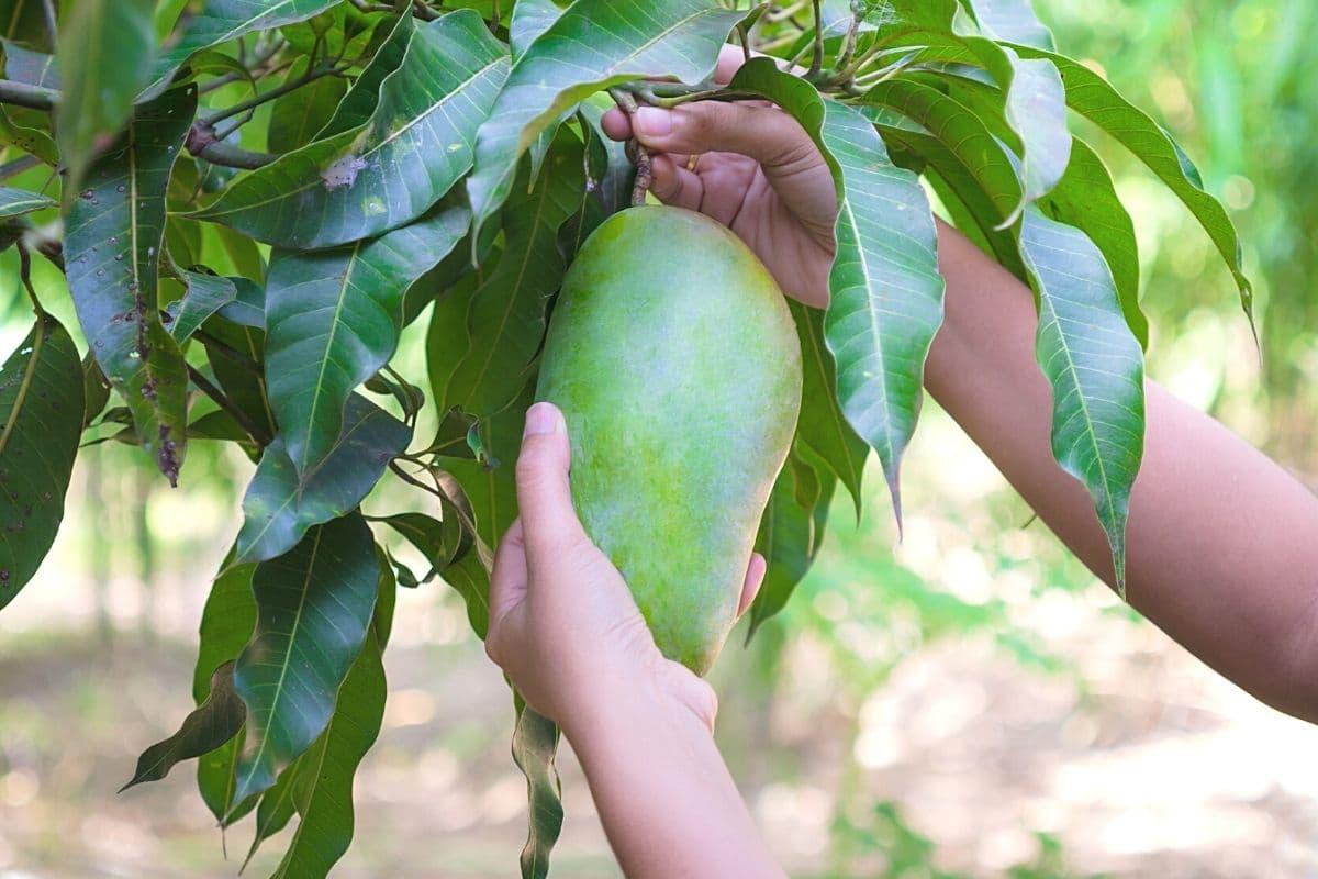Mango ernten