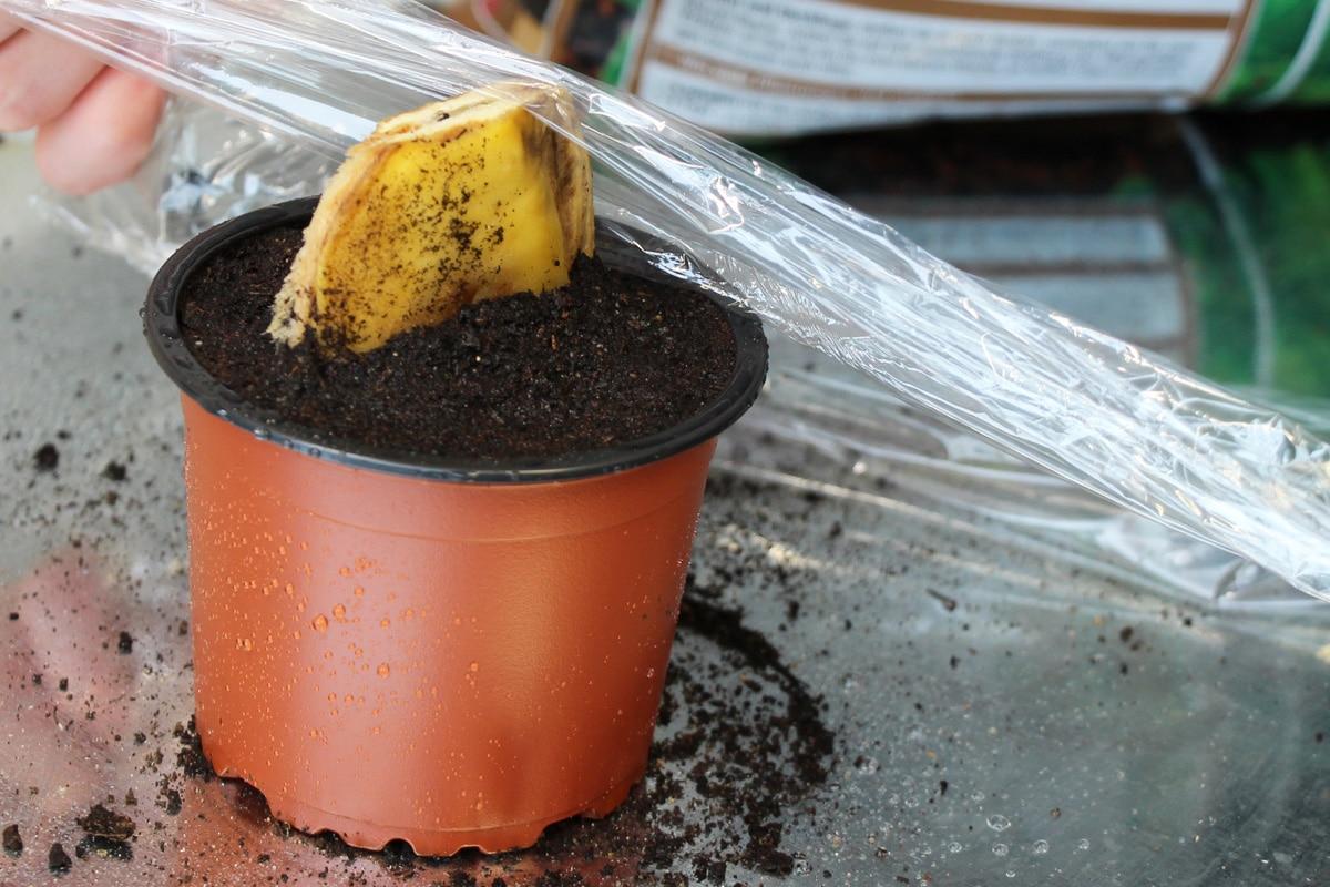Mango mit Folie bedecken
