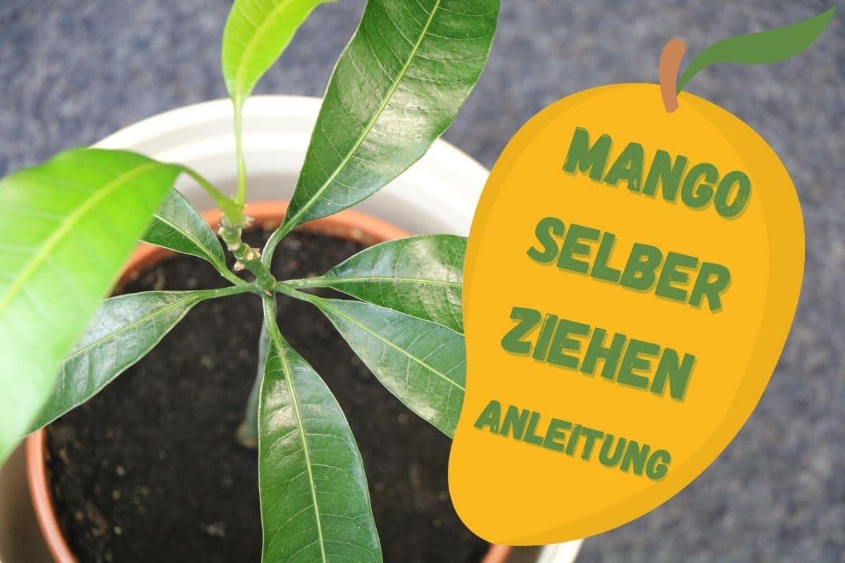 Mango selber ziehen