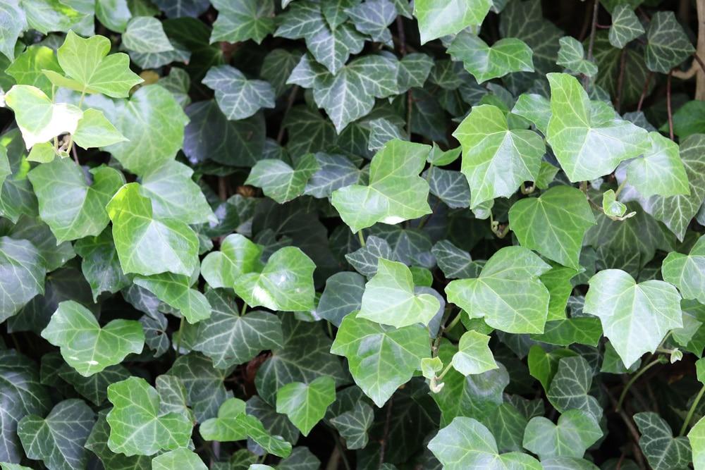 Efeu - Immergrüne winterharte Kletterpflanzen