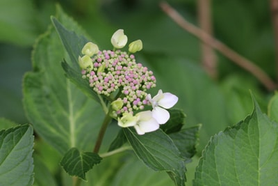 Bauernhortensie - Gartenhortensie - Hydrangea macrophylla
