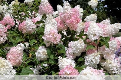Rispen-Hortensie - Hydrangea paniculata 'Limelight'