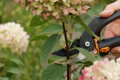 Schneiden einer Hortensie mit Gartenschere