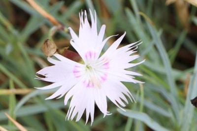 Feder-Nelke - Dianthus plumarius