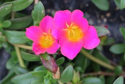 Blüte des Portulakröschens