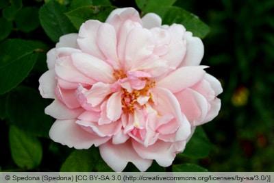 Ramblerrose 'Albertine'