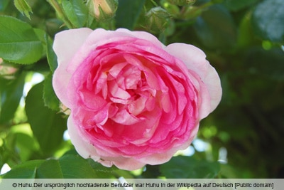 Ramblerrose 'Jasmina'
