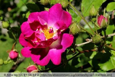 Ramblerrose 'Super Excelsa'