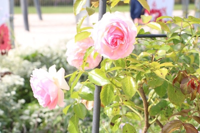 Rose mit Rankhilfe