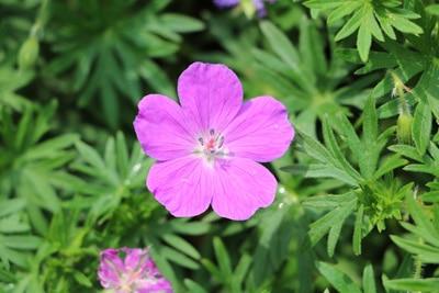 Storchschnabel - Geranium