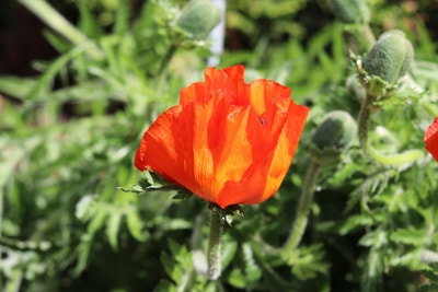 Blüte des Türken-Mohns in Großaufnahme