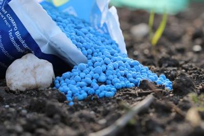 Blaukorn auf Erdboden