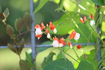 Feuerbohne - Phaseolus coccineus