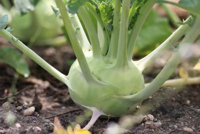 kohlrabi brassica oleracea