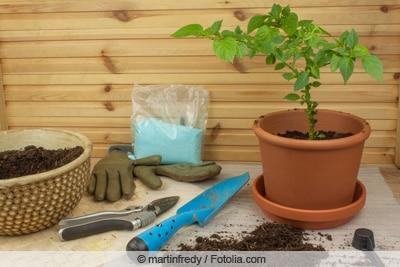 Peperoni-Pfanze in Topf pflanzen