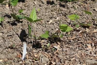 Stangenbohnen - junge Pflanze