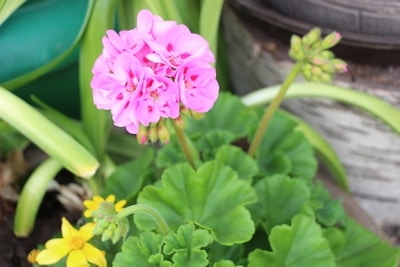 Geranie in Blüte