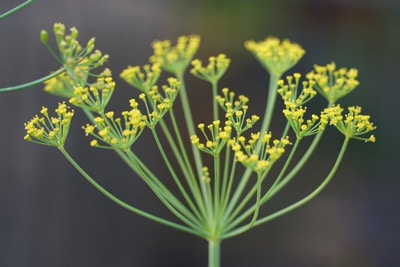 Dill-Blüten