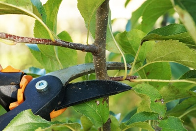Schneiden eines Apfelbaumes per Gartenschere