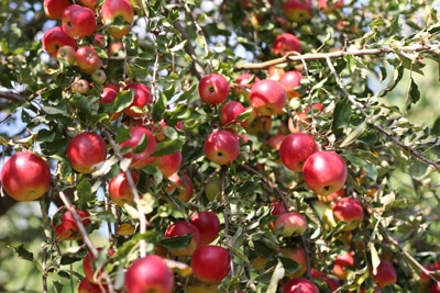 Obst - Apfelbaum - Malus