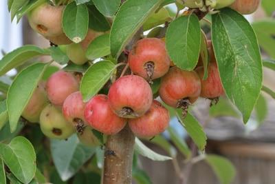Zierapfelbaum mit Früchten
