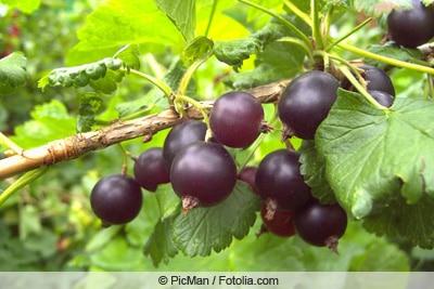 Jostabeere mit Früchten