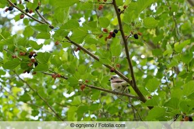 Maulbeerbaum - Morus