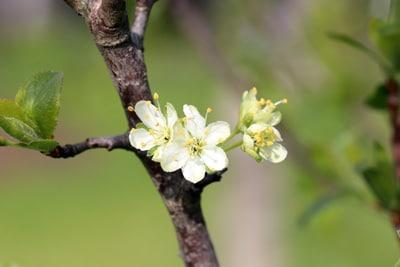 Blüte des Pflaumenbaums