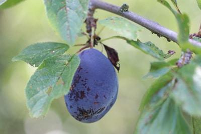 Kranker Pflaumenbaum mit kranker Frucht