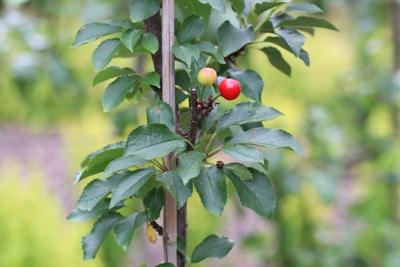 Säulenkirsche mit Früchten