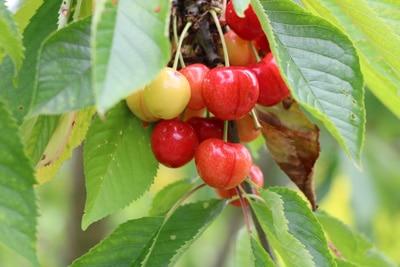 Süßkirschen Früchte