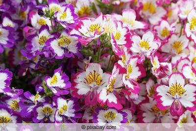 Bauernorchidee - Spaltblume - Schizanthus