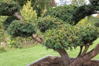 Japanische-Eibe-Taxus-cuspidata
