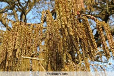 Blüte der Baumhasel